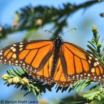 Karlyn's Monarch
